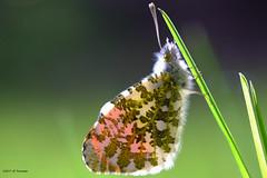 L'Aurore en transparence. (jpto_55) Tags: papillon papillonaurore macro bokeh xe1 fuji fujifilm omlens om50mmf2macro hautegaronne france ngc
