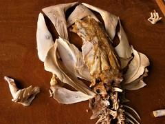 Béla Borbély - Amphibious Ecotype /Detail/ (Béla Borbély) Tags: contemporary art installation fishbone human skeleton artefact head skull borbély béla festőművész painter finearts