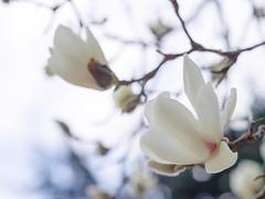 Magnolia at Shinjuku Gyoen (gemapozo) Tags: garden magnoliadenudata tokyo japan park pentax 645z hakumokuren shinjukugyoen 新宿区 東京都 日本 jp smcpentaxa645120mmf4macro 新宿御苑 ハクモクレン