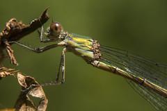 Houtpantserjuffer - willow emerald damselfly (aaronmeijer2) Tags: macro animal canon insect photography eos wildlife bakkum wildlifephotography 450d karpervijver noordhollandsduinreservaat