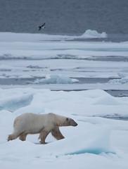DSC_3530 (stacyjohnmack) Tags: july23 polarbear artic