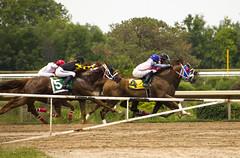 stiff cometition (rumimume) Tags: horse ontario canada grass racetrack canon photo still sigma racing niagara jockey turf thoroughbred picoftheday 2015 forterie 550d t2i rumimume