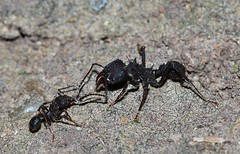 Hormigas negras (gus926gl) Tags: black insectos macro animals canon insect hormigas ant small negro insects 100mm ants animales negra pequeño hormiga insecto