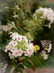 Delicate (Bubash) Tags: white flower butterfly wings colorful blooms delicate