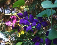 DSC01657 (Old Lenses New Camera) Tags: flowers plants garden sony clematis 60mm f4 bogen biogon osawa tomioka a7r enlarginglens bogenwa tominonel