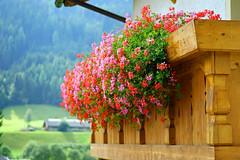 DSC02536 (aleksej.balezin) Tags: flowers south alto tyrol tal sdtirol adige ridnaun