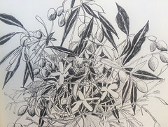Jasmine with olive branches (blue shed art) Tags: blackandwhite jasmine photostream penandink olivebranch