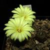 Frailea perbella HR81 '10005' (Pequenos Electrodomésticos) Tags: cactus flower flor seedling cacto frailea sementeira fraileaperbella