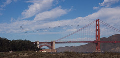 Pelican V over the Golden Gate Bridge (eekim) Tags: sanfrancisco california bird us unitedstates pelican goldengatebridge photoaday crissyfield day267 vformation 365project