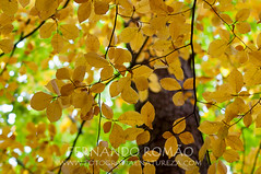 Common Beech (Fagus sylvatica)