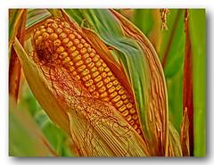 Mais, Kukuruz (Gerhard Kogler) Tags: mais maiskolben kukuruz reife erntezeit maiskrner