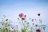 2015 Cosmos #2 (Yorkey&Rin) Tags: autumn macro japan tokyo october bluesky olympus 東京 秋 cosmos rin sunnyday 10月 昭和記念公園 2015 コスモス 秋桜 青空 showakinenkouen em5 olympusm60mmf28macro pc237739