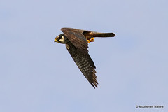 IMG_8692. HOBBY (Falco subbuteo) adult (Nick Ransdale (http://www.nick-ransdale.com/)) Tags: adult hobby falcosubbuteo