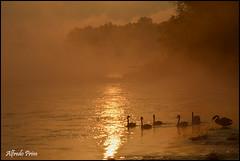 Golden water (alfvet) Tags: water reflex alba fiume ngc swans acqua autunno riflessi cigni mattino parcodelticino veterinarifotografi