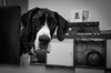 2015_308 (Chilanga Cement) Tags: blackandwhite bw dog girl beautiful lady eyes fuji hound ears greatdane dane collar attention jowls xseries x100t fujix100t