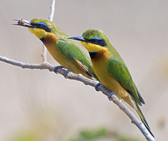 Two Bee or not two Bee (eaters) (crockerhl@ymail.com) Tags: africa blue stella wild green nature beautiful birds yellow wings couple pretty european bees beak safari claw prey colourful wilderness twigs madagascar beeeater beekeepers nikond3200 africanbirds foreverfriends