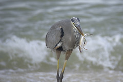 Heron With Fish 7 (dcnelson1898) Tags: ocean travel vacation heron gulfofmexico birds fishing waves florida eating hunting fisch blueheron shorebirds
