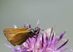 L'Hesprie de la houque - Thymelicus sylvestris -  (michel lherm) Tags: papillons thymelicussylvestris lpidoptres rhopalocres lhespriedelahouque