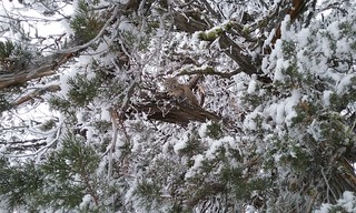 Bobcat in eastern Oregon