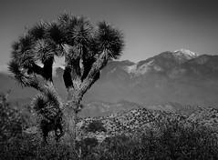 Joshua Tree NP - 1 (1mpl) Tags: california bw mountains monochrome nationalparks canoneos joshuatrees joshuatreenp 35mmtransparency niksilverefexpro