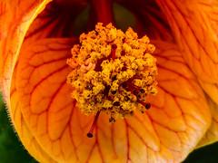 Looking Down It's Throat (Steve Taylor (Photography)) Tags: throat tonsils veins stamen orange closeup macro uk gb england greatbritain unitedkingdom margate flower