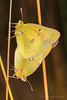 Mating Butterflies (jgruber111) Tags: coliasphilodice cloudedsulphur pieridae papilionoidea lepidoptera insect macro entomology
