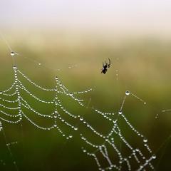 INCY WINCY SPIDER (scatrd) Tags: web rural country macro a6000 spiderwebs aberfoyle e30mmf35macro jasonbruth sonya6000 sony 2016 newsouthwales australia nsw au
