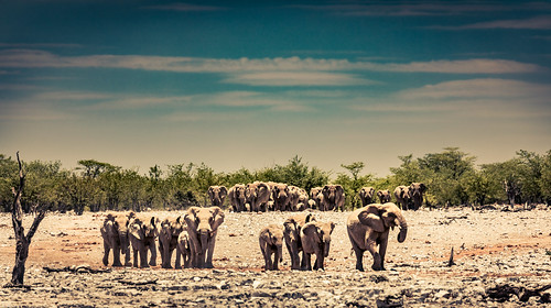 The coming in of the Elephants