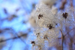 instances of a winter stroll (lunaryuna) Tags: winter season seasonalbeauty nature awalkinsalzburg plant bokeh macro wintersky clematis