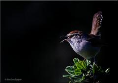 'a sweet songster' (d-lilly) Tags: wrens bewickswren favoritebirdimage gardensatlakemerritt songbird lakemerritt birds northerncalifornia california alamedacounty canon7dmarkll