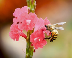 Always busy (Roniyo888) Tags: busy bee honey pink flower dof outdoor insect bright apis honeybee porterweed