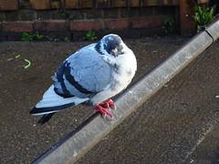 Chilly (andyaldridge) Tags: isleworth thames riverthames london mist river pigeon pigeons winter morning