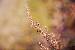 Happy Weekend (michel1276) Tags: meyergörlitz meyeroptik trioplan10028 pflanzen flowers vintage oldlens