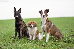 Bodyguards (Maria Zielonka) Tags: hund hunde hundefotografie dog dogs dogphotography outdoor schäferhund schäferhunde schäferhundmix herder herdershond holländischer hollandse dutch shepherd kooiker kooikerhondje senior junior rudel