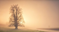 Into The Dream (Captain Nikon) Tags: lonetree chatsworthhouse chatsworth derbyshire peakdistrict moody atmospheric riverderwent river panoramic stitched mist misty sunrise silhouette nikond7100 sigma1835mmf18