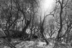 Liguria (fabiolug) Tags: sun light tree trees nature liguria ligury italia italy leicammonochrom mmonochrom monochrom leicamonochrom leica leicam rangefinder blackandwhite blackwhite bw monochrome biancoenero 35mmsummicronasph 35mmf2summicronasph summicronm35mmf2asph summicron35mmf2asph 35mm summicron leicasummicron leica35mm olivetrees olivetree olive