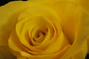 DSC_6175 Rose (PeaTJay) Tags: nikond300s sigma reading lowerearley berkshire gardens indoors nature flora fauna plants flowers rose roses rosebuds