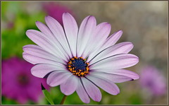 Winter Daisy (tdlucas5000) Tags: daisy purpledaisy flower flowers closeup macro bokeh african africandaisy purple sigma105