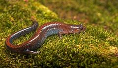 Redbacked Salamander (cre8foru2009) Tags: redbacked salamander amphibian herping macro tamron