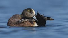 American Widgeon (nikunj.m.patel) Tags: widgeon ducks american waterfowl chesapeake bay choptank migration low duck nature wildlife photography nikon outdoor