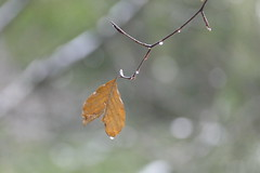 tränend und zerrissenes Herz (Don Bello Photography) Tags: winter 2017 bokeh wald blatt wassertropfen träne panasonicphotographer panasonicfz1000 lumixphotographer lumixfz1000 fz1000 acdsee acdseeultimate10 hamburg norddeutschland northerngermany europe reinhardbellmann donbello donbellophotography 1000views 50favorites 2000views 100favorites 3000views