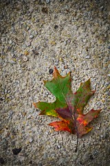 Fallen Leaf (CarusoPhoto) Tags: pentax ks2 john caruso carusophoto autumn fall ground path nature