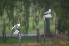 ...there's gotta be a little rain sometime (pakerholm) Tags: rain regn seagull gulls fiskmås mås laruscanus sigma150600 sigma150600f563dgsports sigma150600mmf563 sigmasport sigma 150600 600 ornithology birdwatchingnikon d600 d610 nikond600 nikond610 fullframe fullformat fågelskådning ornitologi oxelösund södermanland sörmland sweden sverige birds bird fågel fåglar linnut lintu wildlife animals vildadjur