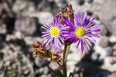 Everlasting Vygie (Erepsia anceps), Silvermine, Table Mountain National Park, SA