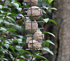 UK Garden bird practice shots. (mikeupton433) Tags: canoneosm canon75300mm britishwildbirds