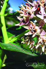 IMG_2422RMH 12.1 CMYK WebsiteRGB (creationartistcoPHOTO) Tags: bee animal flower purple photography photo beewing outdoors closeup macro honey honeybee