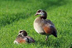 Egyptian Geese (NickWakeling) Tags: egyptiangeese egyptiangoose geese goose norfolk nature ludham ludhamairfield birds wildlife canoneos7dmarkii sigma150600mmf563dgoshsmcontemporary