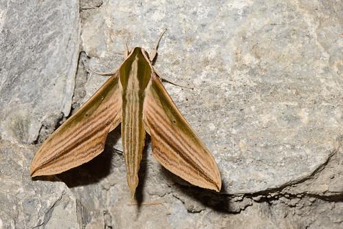 Cechetra lineosa - Fang Hot Springs_2016-04-21_268