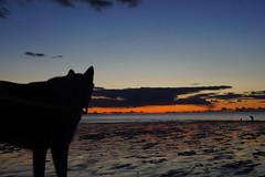alaskan malamute sunset (feddonmel) Tags: maryport sunset malamute