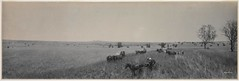 Panorama of Harvesting wheat on Brundah Station, Grenfell, 1903 / by Melvin Vaniman (State Library of New South Wales collection) Tags: statelibraryofnewsouthwales panorama